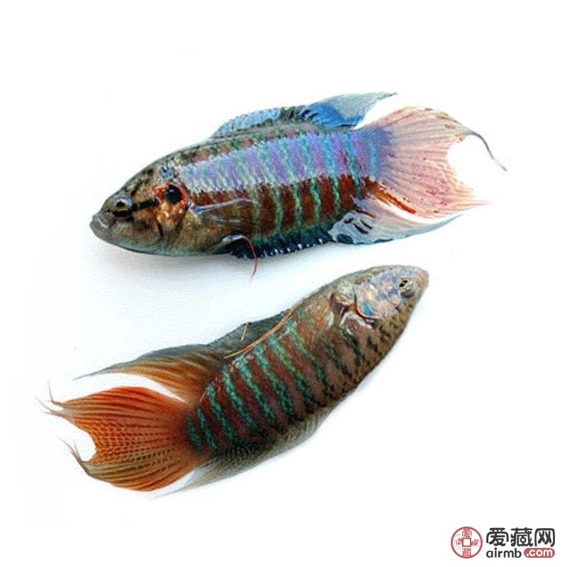 斗鱼观赏鱼一条长6.5厘