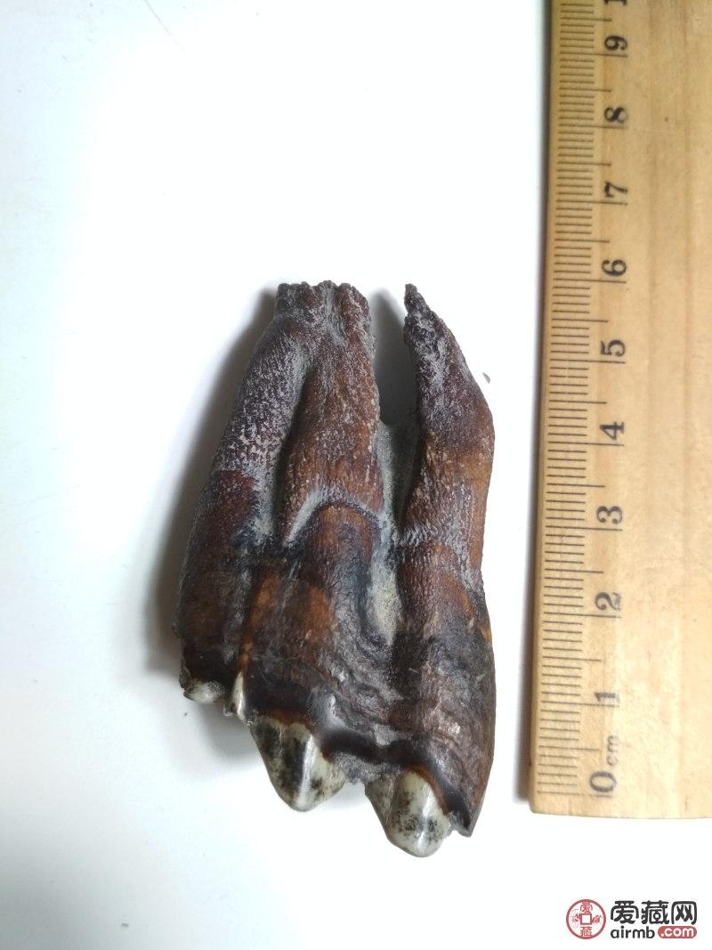 牙化石,编号8FD多拍只