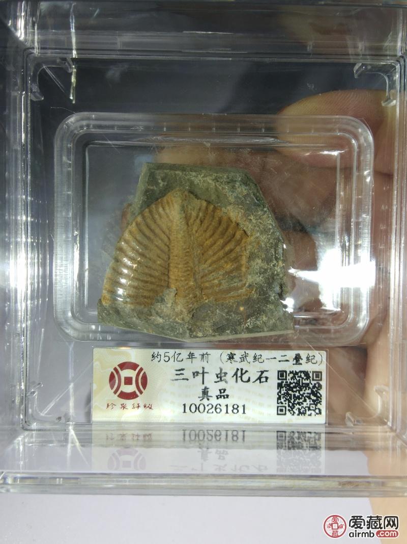 名称:5亿年三叶虫化石尺