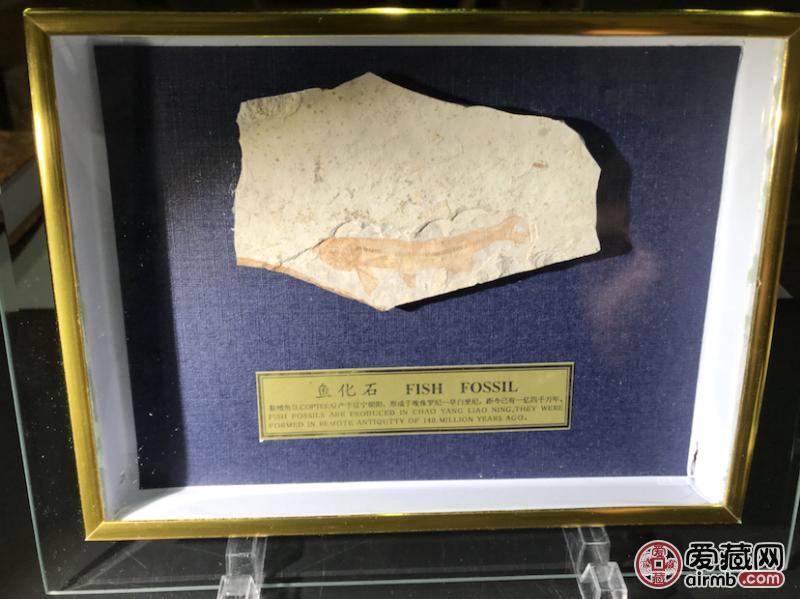 鱼化石—狼鳍鱼化石!发现
